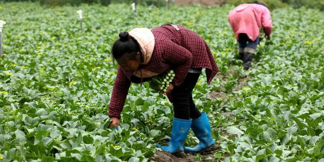 一天摘菜300斤,收入不足200元
