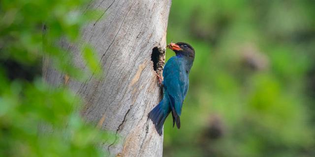 沈阳东陵,哺育中的三宝鸟