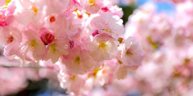 遇见这样的樱花季真美