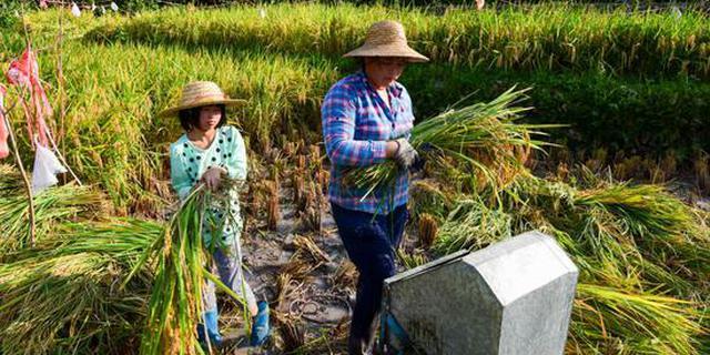 女孩在35度高温下帮妈妈收稻谷