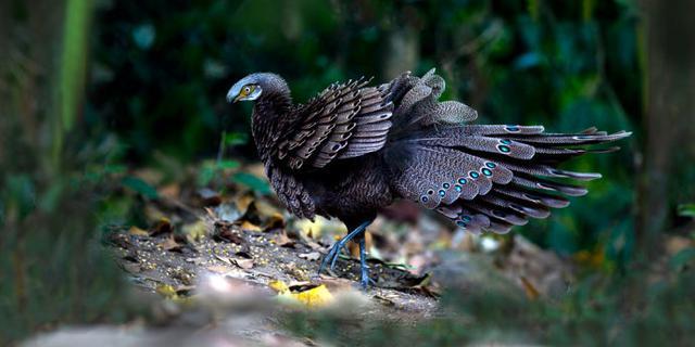 热带雨林里的孔雀雉