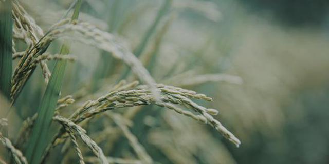 投资数亿打造中国最文艺稻田