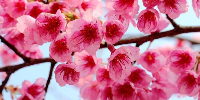 最早盛开的樱花