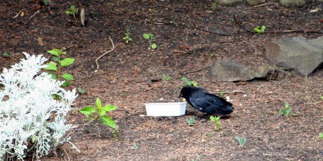 美国亲历:小黑鸟救护记