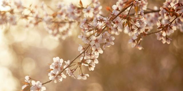 这是桃花不是樱花