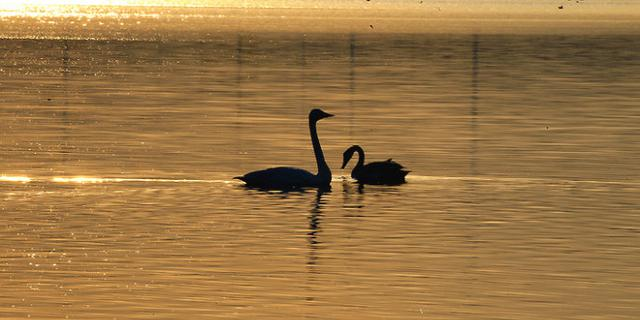 浪漫的白天鹅们