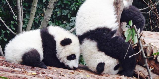 大熊猫一言不合就翻跟头