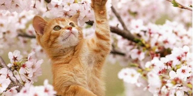 我被樱花猫咪美醉了