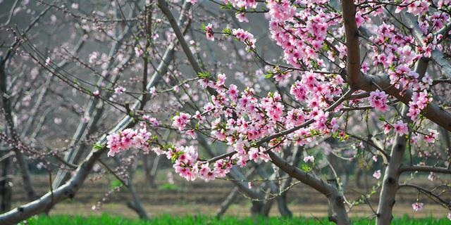 桃花映红了沁河滩一隅