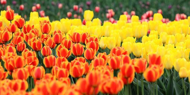 北京植物园的郁金香开了