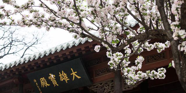 这里的樱花比日本更美