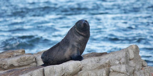 在新西兰邂逅可爱的海豹