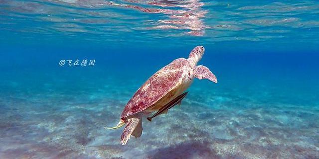 在海底和大海龟一起游泳