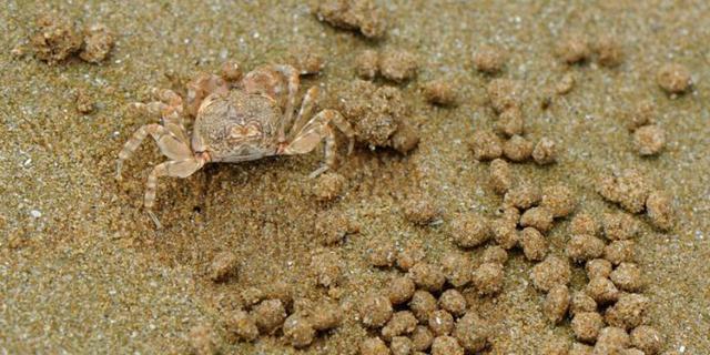 沙蟹在海滩上作画
