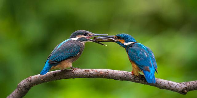 翠鸟爸爸抓鱼喂宝宝