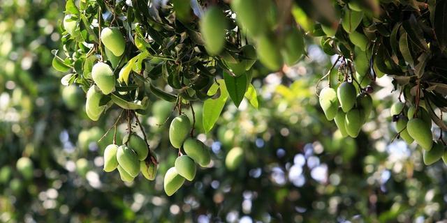 芒果大道的芒果不宜食用