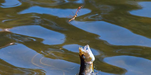 水中游的鱼抓空中飞的蜻蜓