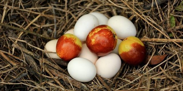 比柴鸡蛋还大的红枣