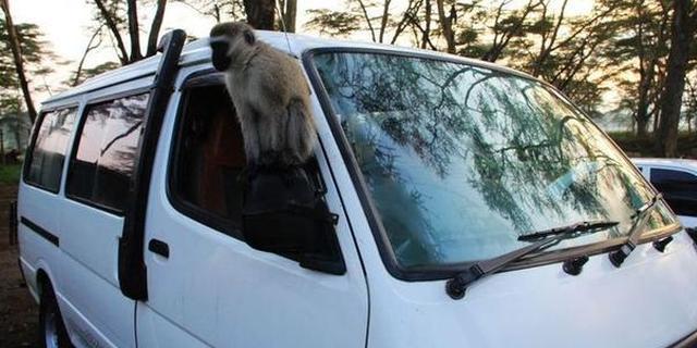 纳库鲁的猴儿竟敢偷学开车