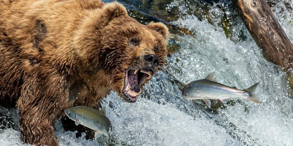 天时地利!鲑鱼逆流而上产卵 棕熊坐等乐享美食