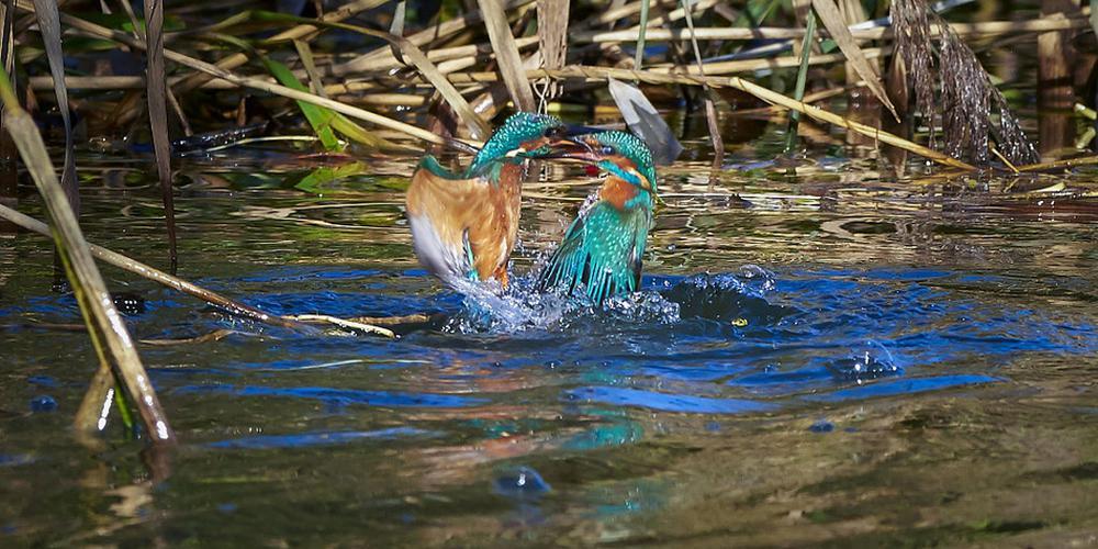 鸟为食亡!两只蓝翠鸟为争夺捕鱼权展开殊死搏斗