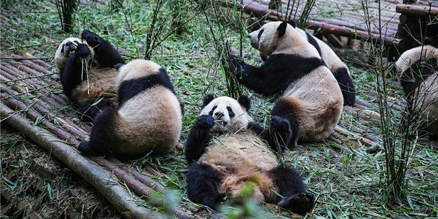 翻肚皮卖萌的大熊猫