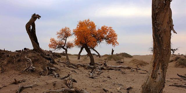 额济纳怪树林,生命的墓志铭