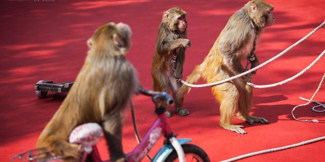儿时过年最爱看耍猴表演
