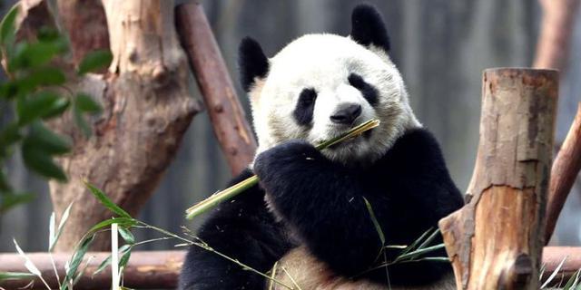 憨态可掬的熊猫