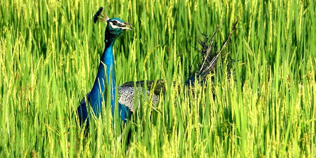 抓拍斯里兰卡野生蓝孔雀