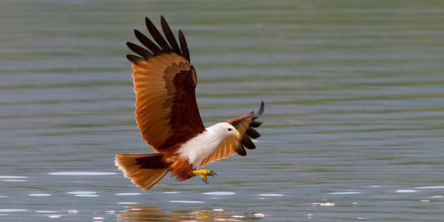 栗鸢,兰卡威的标志