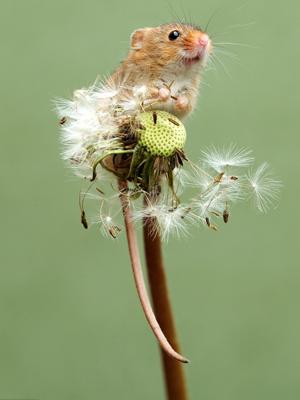 可爱小巢鼠蒲公英上凹造型