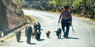 在云南,有一种职业叫放猪