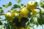 秋令水果市价普降 梨子均价回到七八年前