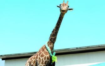 无锡动物园长颈鹿因乱投喂致死
