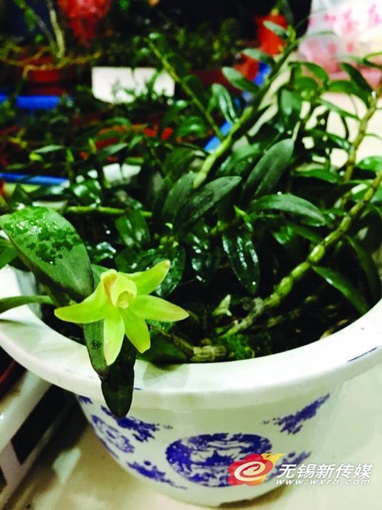 盆栽铁皮石斛