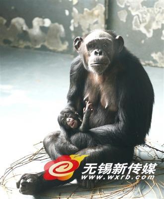 这个宝宝可不一般,是无锡动物园首次繁育成功的黑猩猩,放眼整个江苏省