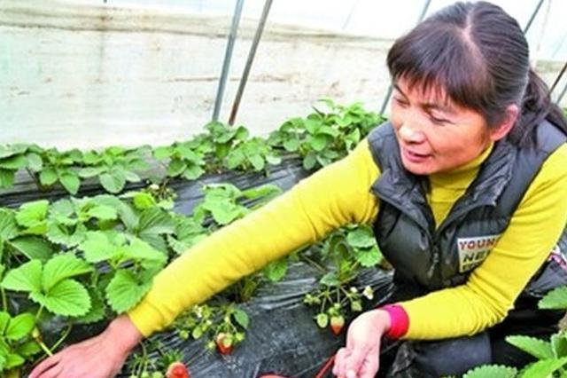 本地草莓上市 市民可以一饱口福了!