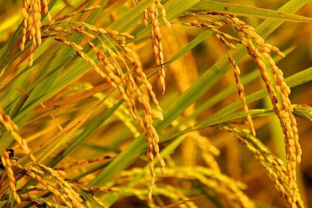 宛山村稻田精细化灌溉尾水年排放量减少2万多吨