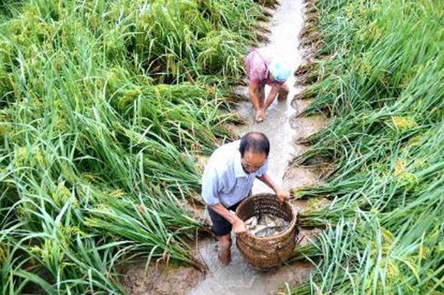一水两用无锡率先推出稻渔综合种养