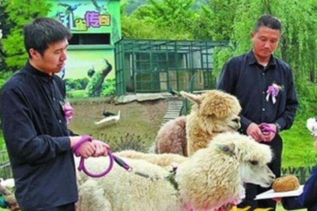 """无锡动物园上演草坪婚礼?羊驼""""新人""""浪漫登场"""