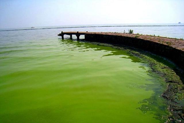 5亿尾鲢鳙鱼吃太湖658万吨蓝藻 以渔控藻生态经济双赢