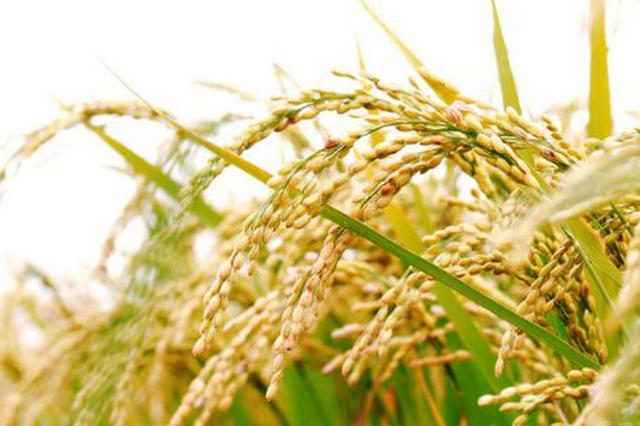江苏力争打造高品质稻米品牌