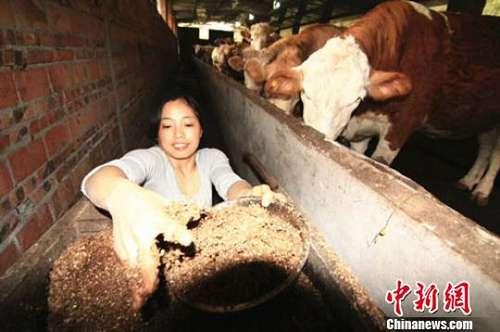 给牛喂食。受访者供图
