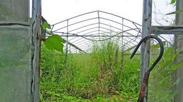 无锡茭白资源圃杂草丛生