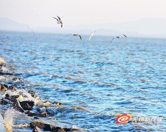 1月9日,红嘴鸥在太湖上空飞舞。近日,不少迁徙候鸟飞抵太湖新城太湖水域,在此停留觅食。