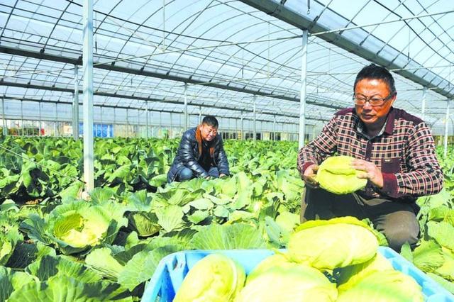 """夏蠡生态园员工采收无公害蔬菜 丰富了市民冬日""""菜篮子"""""""