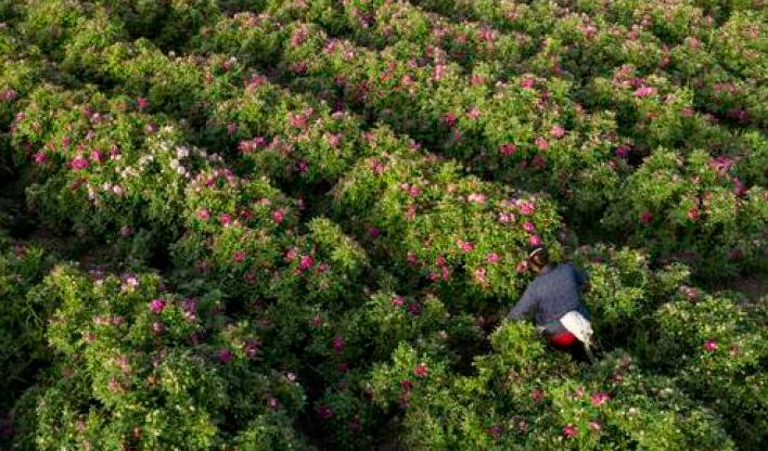 于田万亩玫瑰园花开 流星花园里别忘许个愿