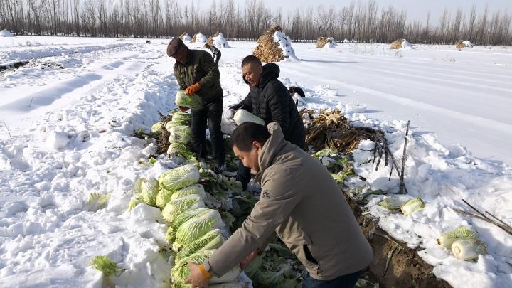 工作队助力 伊宁市潘津村三天卖掉2万公斤白菜