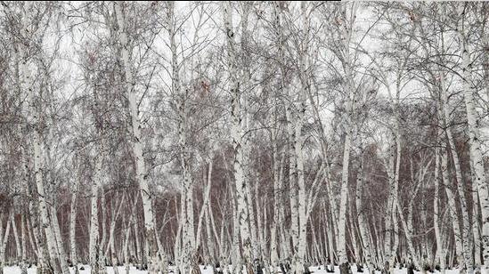 哈巴河县初冬白桦林宛如天然淡雅水墨画